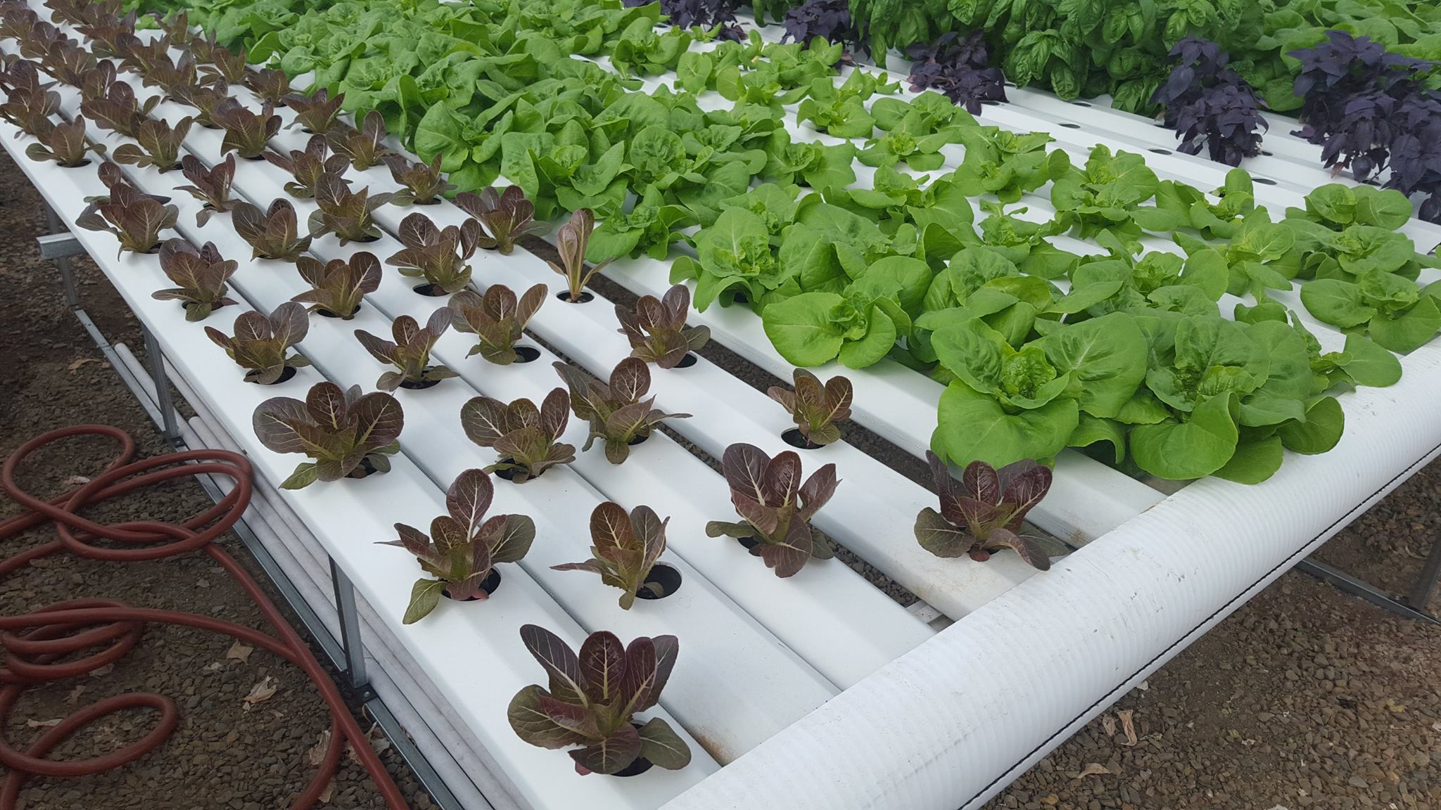 Growing Groundwork Greens
