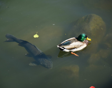 Mallard and carp in daylighted Saw Mill River
