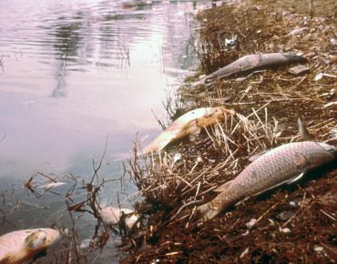 Dead fish along the Mill Creek, 1970s
