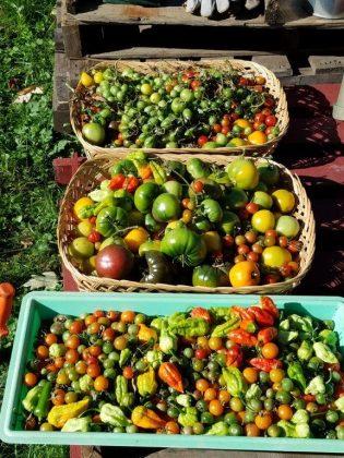 Bumper crop of peppers!
